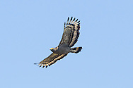 A Crested Serpent-eagle (Spilornis cheela) in flight, showing the distinctive feather pattern. (Prey Veng, Cambodia)