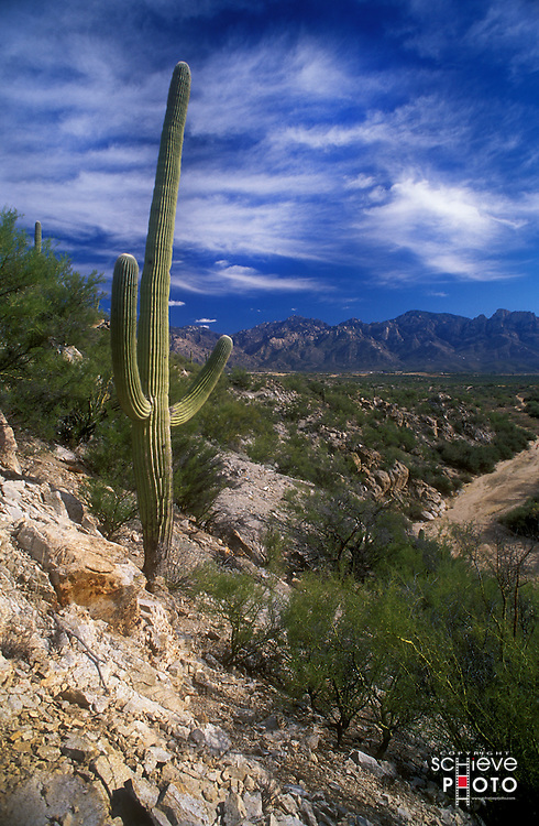Saguaro cactus on Mount Lemmon near Tucson, Arizona.