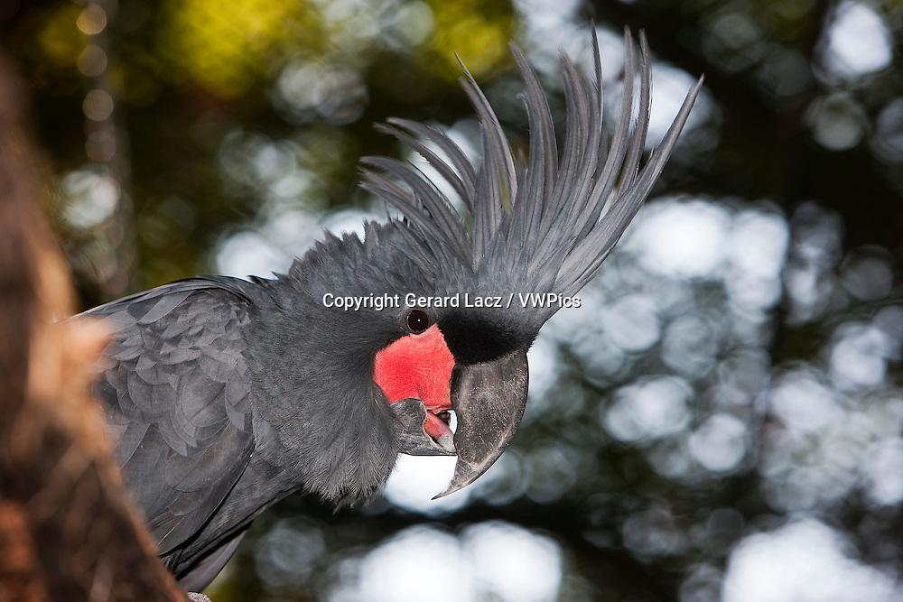 Palm Cockatoo, probosciger aterrimus, Adult with Crest raised