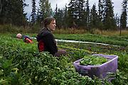 LIVING OFF THE GRID<br /> The summer intern Rachel Burke from Tuscon, AZ <br /> Anchor Point, Alaska, USA