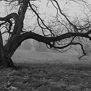 """""""The Weathering"""" B&W<br /> <br /> Beautiful gnarled old tree within thick fog! A lovely moody image in B&W!!<br /> <br /> All about Fog by Rachel Cohen"""