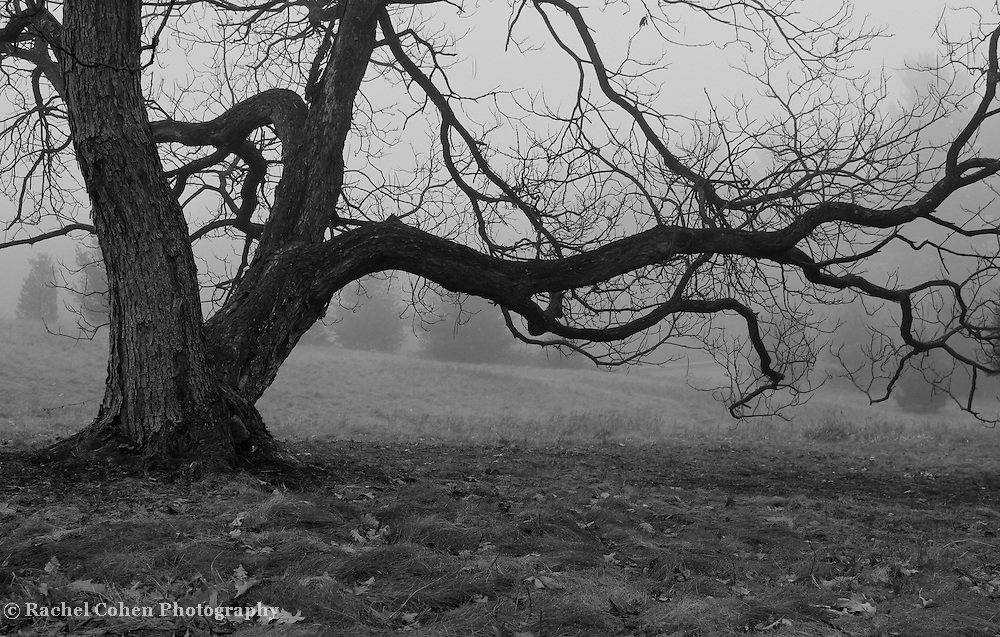 &quot;The Weathering&quot; B&amp;W<br /> <br /> Beautiful gnarled old tree within thick fog! A lovely moody image in B&amp;W!!<br /> <br /> All about Fog by Rachel Cohen