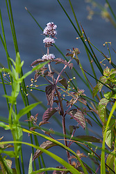 Watermunt, Mentha aquatica
