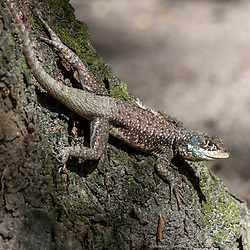 """Calango (Tropidurus oreadicus) fotografado em Linhares, Espírito Santo -  Sudeste do Brasil. Bioma Mata Atlântica. Registro feito em 2015.<br /> <br /> <br /> <br /> ENGLISH: Amazon lava lizard photographed in Linhares, Espírito Santo - Southeast of Brazil. Atlantic Forest Biome. Picture made in 2015."""