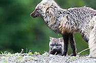 A Cascade x Silver Fox (Vulpes vulpes cascadensis) standing guard over her kit at Paradise, Mount Rainier National Park.
