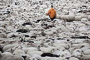 Féð heimt af fjalli | Sheep Roundup