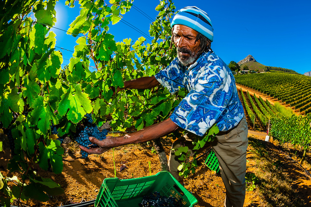 Picking Merlot grapes, during the wine harvest at Delaire Graff Wine Estate atop Helshoogte Pass, near Stellenbosch, Cape Winelands (near Cape Town), South Africa.
