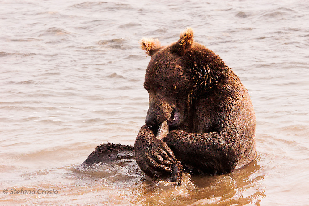 USA, Katmai National Park (AK)?Coastal brown bear (Ursus arctos) eating salmon