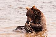 USA, Katmai National Park (AK)?Coastal brown bear (Ursus arctos) eating salmon
