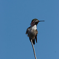 Caliope hummingbird on perch.