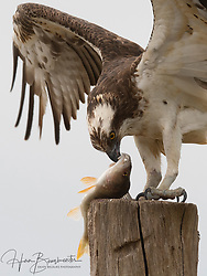 Osprey with fish and resting