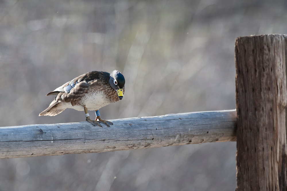 Wood Duck, Aix sponsa, female, tarsal band & nasal tag, Churchill County, Nevada