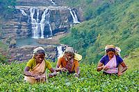 Sri Lanka, province du centre, Nuwara Eliya, plantations de thé de Ceylan, cueillette du thé, cueilleuses de thé devant une chute d'eau // Sri Lanka, Ceylon, Central Province, Nuwara Eliya, tea plantation in the Highlands, Tamil women tea pickers picking tea leaves near a waterfall