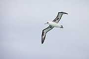 Laysan Albatross, underwing detail, Midway Atoll