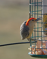Red-bellied Woodpecker at the Bird Feeder. Image taken with a Fuji X-T3 camera and 200 mm f/2 lens with 1.4x teleconverter (ISO 320, 280 mm, f/5.6, 1/500 sec).