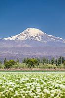 CULTIVO DE AJO FLORECIDO Y CORDILLERA DE LOS ANDES, VOLCAN TUPUNGATO (6.570 m.s.n.m.), LUJAN DE CUYO, PROVINCIA DE MENDOZA, ARGENTINA (PHOTO © MARCO GUOLI - ALL RIGHTS RESERVED)