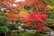 Japanese maples turn red and orange in autumn. The Seattle Japanese Garden was completed in 1960 within UW's Washington Park Arboretum. Address: 1075 Lake Washington Blvd E, Seattle, Washington 98112, USA. The image was stitched from 6 overlapping photos.