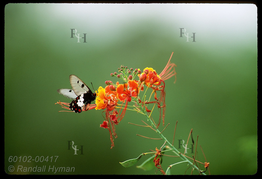 Black-and-white butterfly pollinates flower & drinks its nectar atop Mount Cootha in Brisbane. Australia