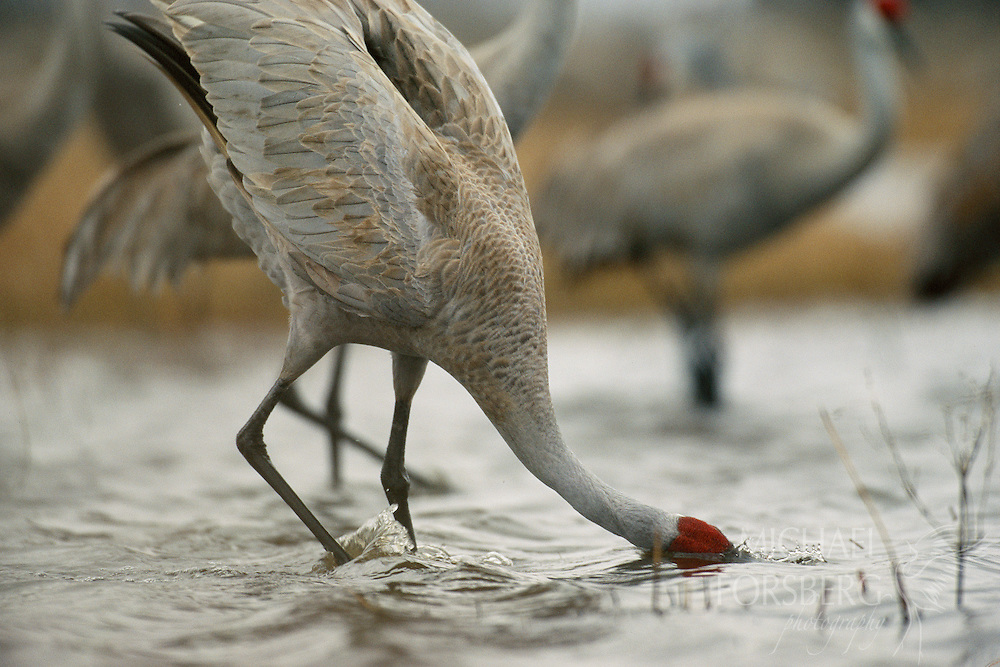 Sandhill crane drinks from a secluded wetland on the Platte. Platte River valley, Nebraska