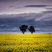 Stormy sky over canola field