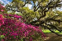 An explosion of colorful azalea flower beneath an ancient Live Oak tree draped in Spanish Moss at Magnolia Gardens and Plantation in the Lowcountry of South Carolina.