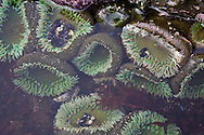 sea anemone in tide pools during a low tide at Railto Beach Washington