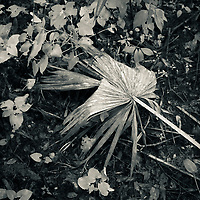 Cabbage Palm Frond on swampy ground with foliage.