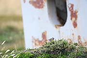Black throated finch (Melanodera melanodera)) in front of a derelict gun emplacement on East Falkland Island on Monday 5 February 2018.