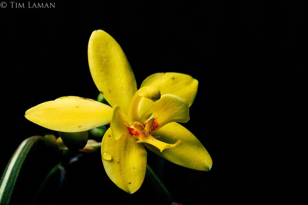 A yellow orchard (Spathoglottis kimballiana) invites pollinators wth its vibrant color in Sierra Madre Natural Park.