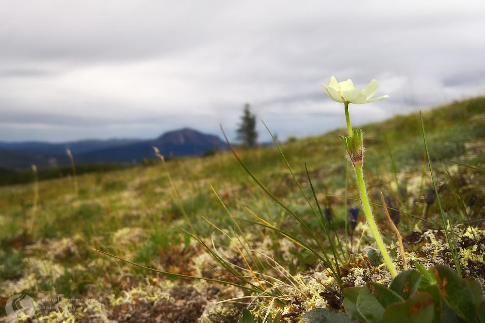 Healy Alaska, brave wildflower