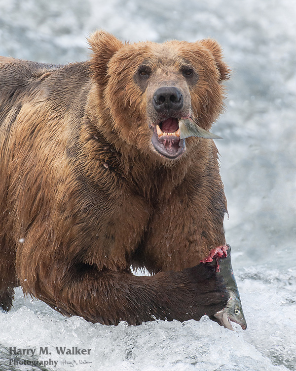 Brown bear/grizzly bear; Ursus arctos; in water with chum salmon; chum salmon--Oncorhynchus keta; sometimes referred to as dog salmon; McNeil River State Game Sanctuary; Kamishak Bay area; Alaska; summer; McNeil River