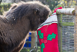 London, UK. 20th December, 2018. Bactrian camels Noemie and Genghis enjoy breakfast served in a super-sized festive stocking specially prepared by keepers at ZSL London Zoo.