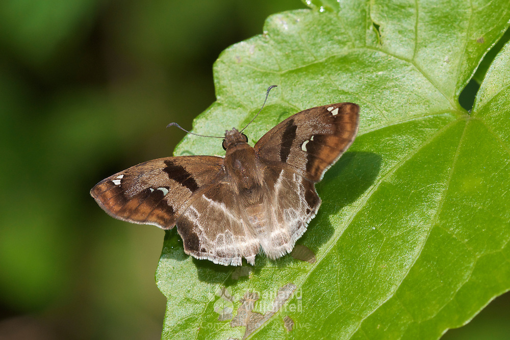 Chestnut Angle (Odontoptilum angulatum angulatum) skipper butterfly.