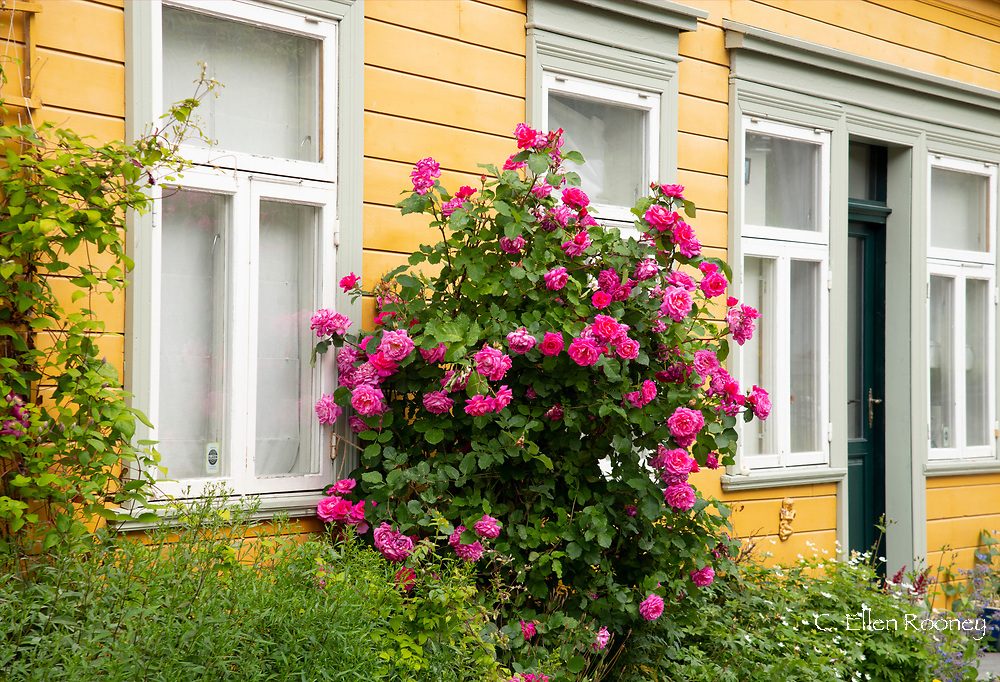 A pink rose bush in front of a yellow house in the Mollenberg district ofTronheim, Trondelag, Norway