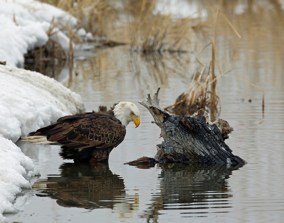 Bald Eagle, Great Salt Lake