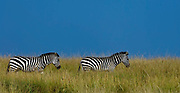 Plains Zebras (Equus burchelli) in the long savannah grass of Maasai Mara, Kenya.