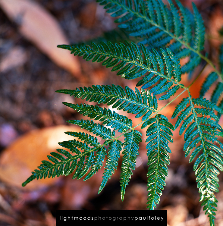 Fern in Watagan Forest, NSW, Australia