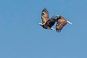 Pair ofBald Eagle -  Haliaetus leucophalus in flight together