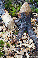 Tree cut down by beaver