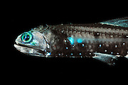 Lepidophanes guentheri, a species of the large group of lanternfish (or myctophid, family Myctophidae, 246 species, mykter = Greek for 'nose' and ophis for 'serpent') shows a pattern of paired light-producing cells (photophores) located along the ventral sides and at the head. They serve to mask the fish by counterillumination and are used in intraspecific communication (shoaling, courtship). This rather small deep sea fish species (adult approx. 8 cm) performs diurnal vertical migrations: during daylight hours it can be found at depths of > 400m, at night it ascends to < 100 m. Its habitat is therefore the mesopelagic (or twilight) zone. The widely distributed and numerous species of the family of lanternfish account for a great part of the overall biomass of deep sea fish: about  65%. As such they play an important ecological role as prey species for all kinds of larger marine vertebrates (fish, sea birds, marine mammals). [size of single organism: 8 cm]
