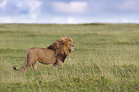 Magnificent male lion (Panthera leo) on the short grass plains, Serengeti