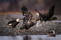 Two bald eagles (Haliaeetus leucocephalus), one mature and the other a juvenile fight over a salmon carcass along the Chilkat River in the Alaska Chilkat Bald Eagle Preserve near Haines, Alaska. During late fall, bald eagles congregate along the Chilkat River to feed on salmon. This gathering of bald eagles in the Alaska Chilkat Bald Eagle Preserve is believed to be one of the largest gatherings of bald eagles in the world.