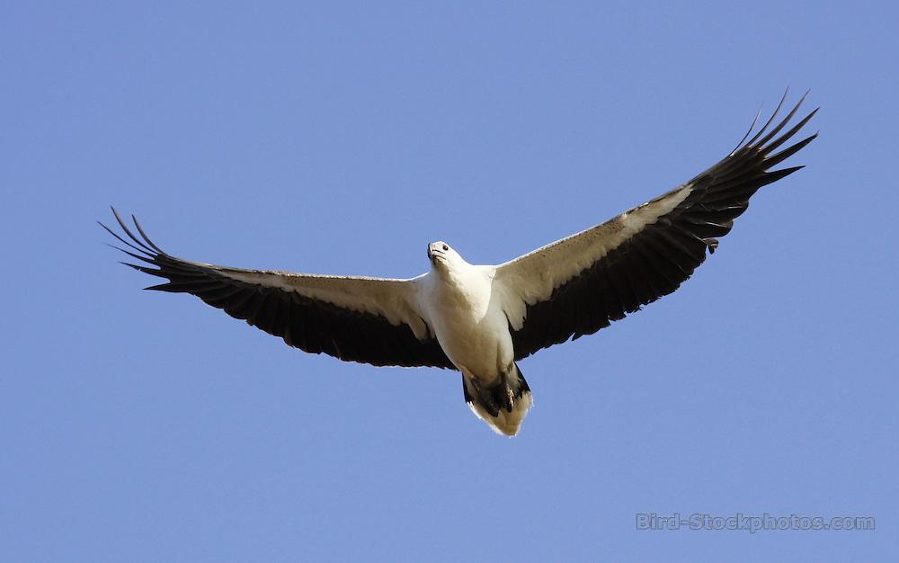 White-bellied Sea Eagle, Haliaeetus leucogaster, flight, Australia, by Jonathan Rossouw