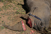 White rhinoceros (Ceratotherium simum) dead from fighting and horn removed for safe-keeping<br /> , <br /> SOUTH AFRICA<br /> RANGE: Southern &amp; East Africa<br /> ENDANGERED SPECIES