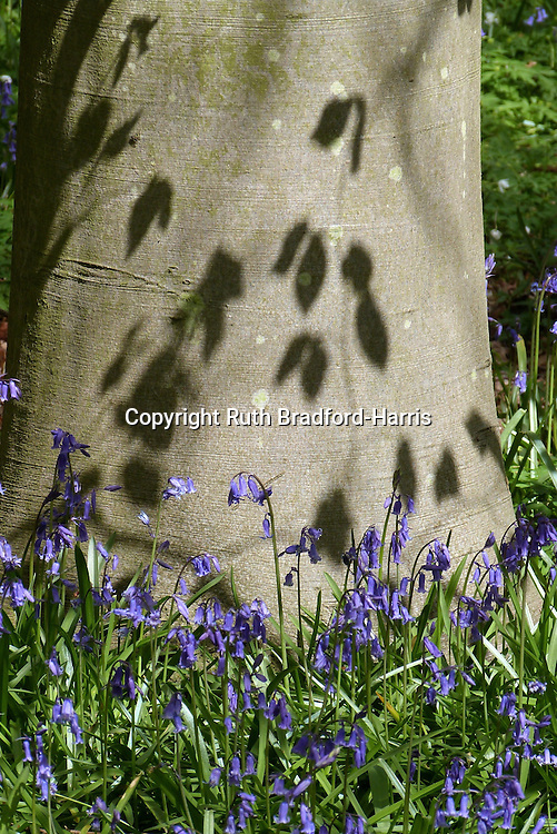 Native English bluebells (Hyacinthoides non-scripta) surround the trunk of a native Beech tree (Fagus sylvatica) in Southrey Wood, Lincolnshire. The dappled sunlight casts perfect shadows of the fresh Beech leaves onto the smooth tree bark.<br />