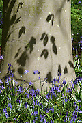 Native English bluebells (Hyacinthoides non-scripta) surround the trunk of a native Beech tree (Fagus sylvatica) in Southrey Wood, Lincolnshire. The dappled sunlight casts perfect shadows of the fresh Beech leaves onto the smooth tree bark.<br /> <br /> The Lincolnshire Limewoods are scattered remnants of ancient woodland, the largest area of woodland dominated by Small-leaved Lime in Britain. The species was thought to have been introduced to Britain but is now considered to have been native.<br /> <br /> Date taken: 01 May 2015.