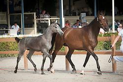 002, Kayne<br /> Nationale Veulenkeuring, hengstveulens springen <br /> KWPN Paardendagen Ermelo 2015<br /> © Hippo Foto - Leanjo de Koster