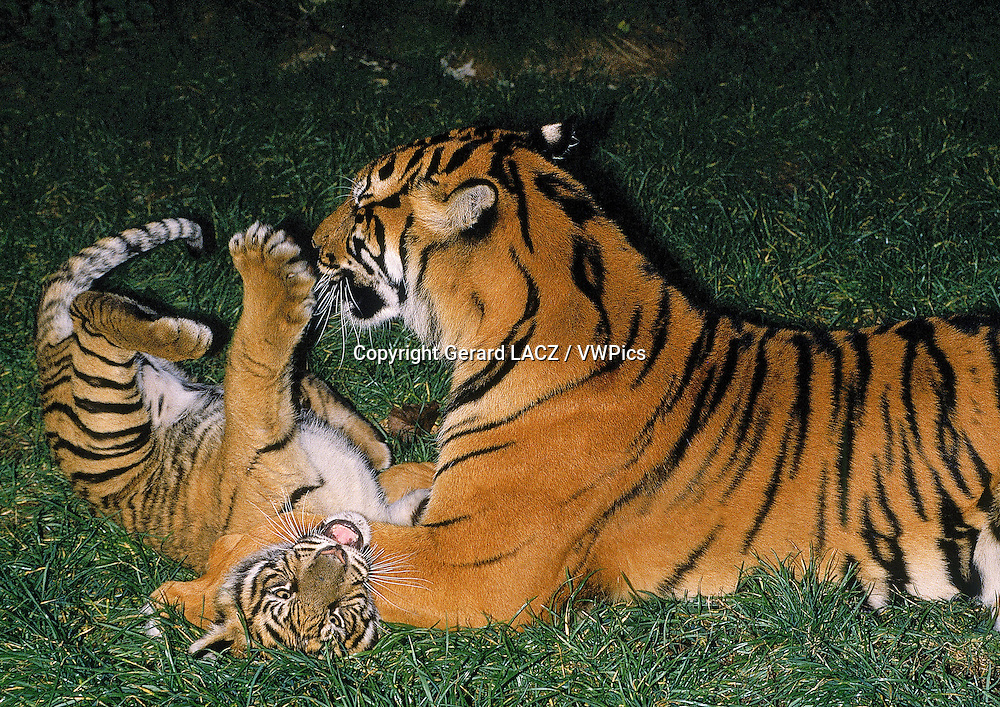 Sumatran Tiger,   panthera tigris sumatrae, Mother and Cub playing