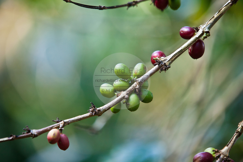 Coffee berries growing at the Sandra Farms plantation in Adjuntas, Puerto Rico.