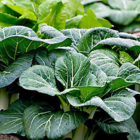 Bok choy (Brassica rapa) growing in a community garden. Bok choy is a Chinese leaf vegetable related to the Western cabbage and is also known as pak choi, bai cai, you choy, and choy sum or tatsoi (baby bok choy)